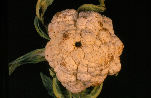 Image result for Alternaria leaf spot in cauliflower