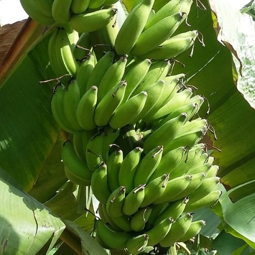 Naturally Grown (ZBNF) Yellaki Banana (Ripe In 3 To 4 Days