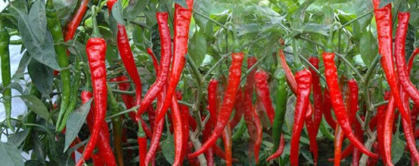 http://www.asiafarming.com/wp-content/uploads/2016/03/Red-Chilli-Growing-for-Seed.jpg