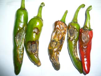 Image result for Anthracnose in chilli