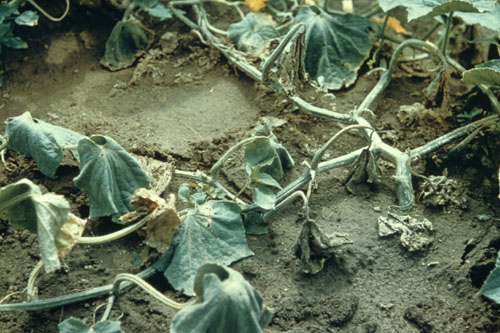 Image result for Fusarium wilt on +Muskmelon