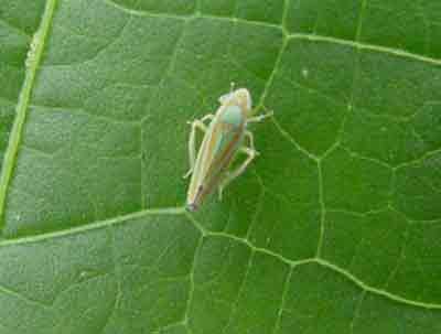 Image result for leafhopper on okra
