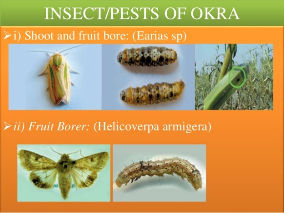 Image result for Shoot and fruit borer on okra