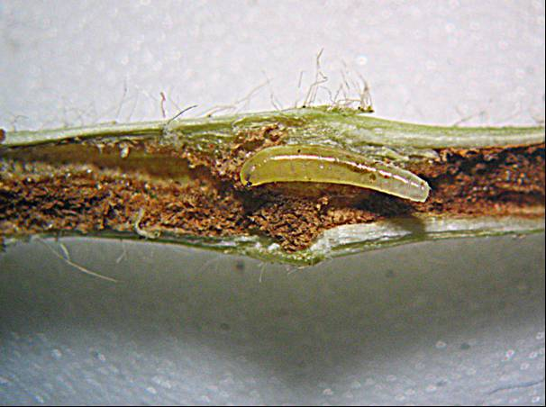 Image result for Stem fly in beans