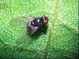 Image result for Stem fly in pole beans