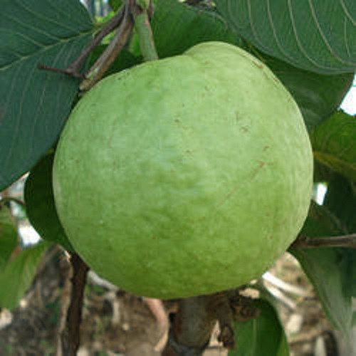 Organically Grown Guava (Allahabad Safeda)-1kg